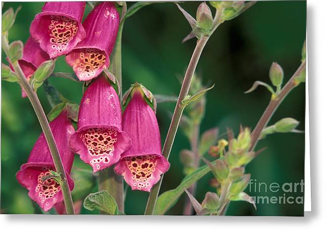 Foxglove Flowers Greeting Cards - Wild Foxglove Greeting Card by Ron Sanford