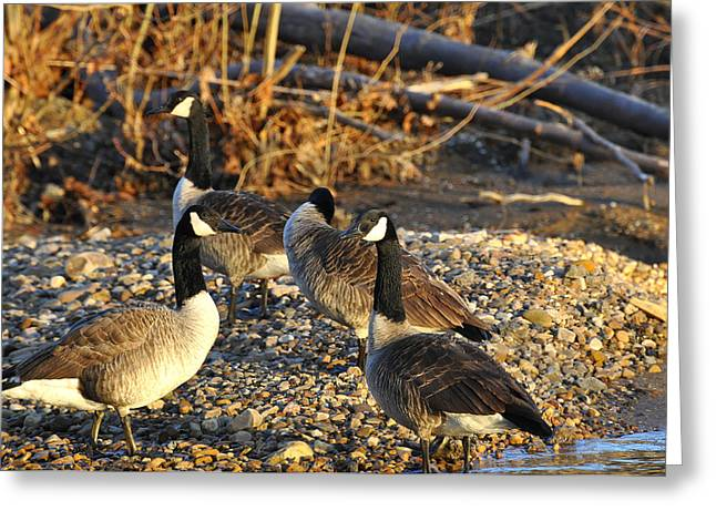 Wild Goose Greeting Cards - Wild geese Greeting Card by Todd Hostetter