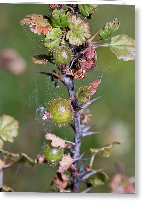 Wild Gooseberries (ribes Uva-crispa) Greeting Card by Bob Gibbons