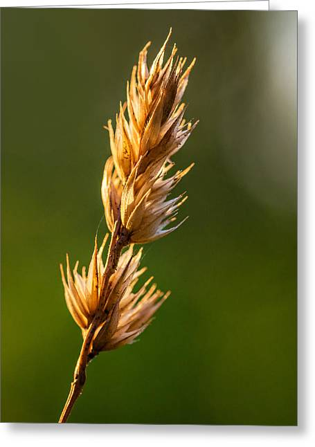 Golden Summer Grass Greeting Cards - Wild Grass 2 Greeting Card by Steve Harrington