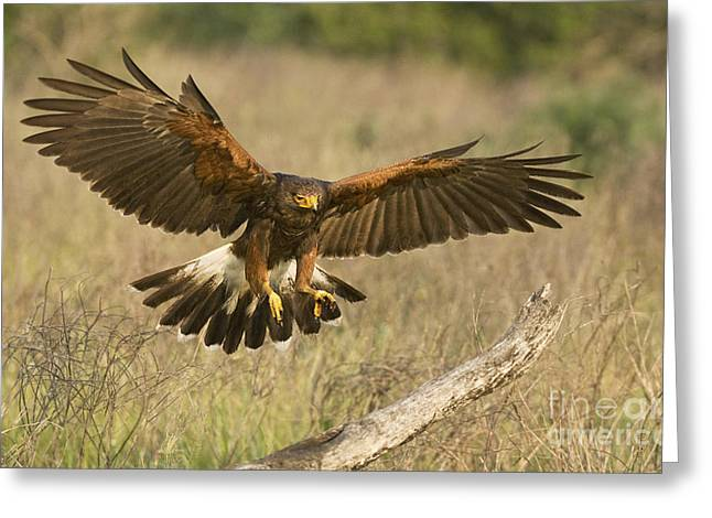 Flaring Greeting Cards - Wild Harris Hawk Landing Greeting Card by Dave Welling