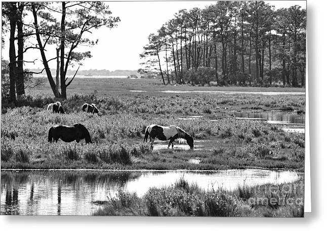 Wild horses of Assateague feeding Greeting Card by Dan Friend