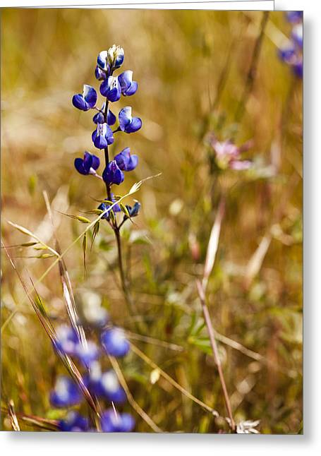 Lavendar Greeting Cards - Wild in the Field Greeting Card by Jon Glaser