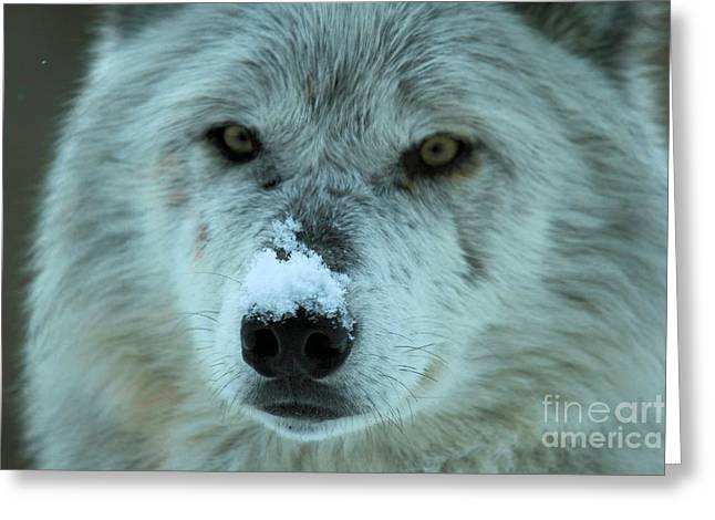 Alpha Wolf Greeting Cards - Wild Intensity Greeting Card by Adam Jewell