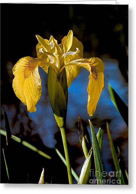 Wild Iris Greeting Card by Robert Bales