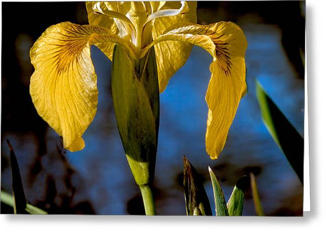 Wild Iris Greeting Card by Robert Bales