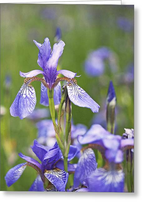 Blue Flowers Photographs Greeting Cards - Wild Irises Greeting Card by Rona Black