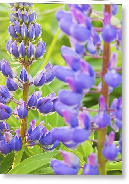 Stamen Greeting Cards - Wild Lupine Flowers Greeting Card by Keith Webber Jr