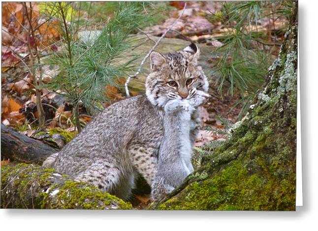 Bobcats Greeting Cards - Wild Maine Bobcat Greeting Card by Shelagh Delphyne