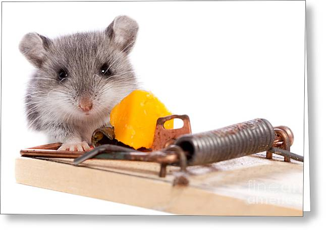 Incentive Greeting Cards - Wild Mouse and Mousetrap with Cheese Close Up Isolated Greeting Card by Cindy Singleton