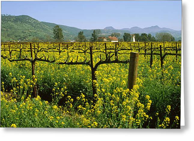 Winery Photography Greeting Cards - Wild Mustard In A Vineyard, Napa Greeting Card by Panoramic Images