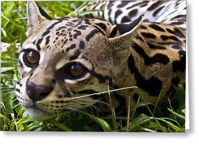 Wild Ocelot Greeting Card by Heiko Koehrer-Wagner