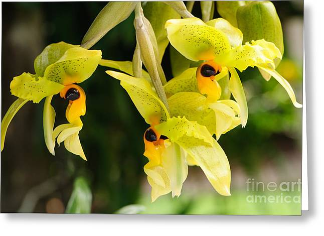 Orchid Greeting Cards - Wild orchid Greeting Card by Oscar Gutierrez