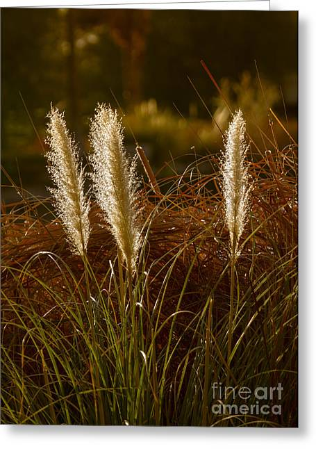 Feathery Greeting Cards - Wild Pampas Grass Greeting Card by Robert Bales