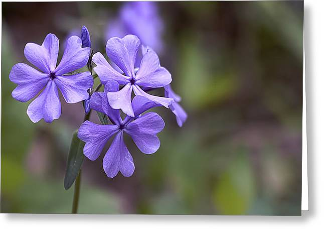 Wildflowers Pyrography Greeting Cards - Wild Phlox Greeting Card by Rhonda McClure