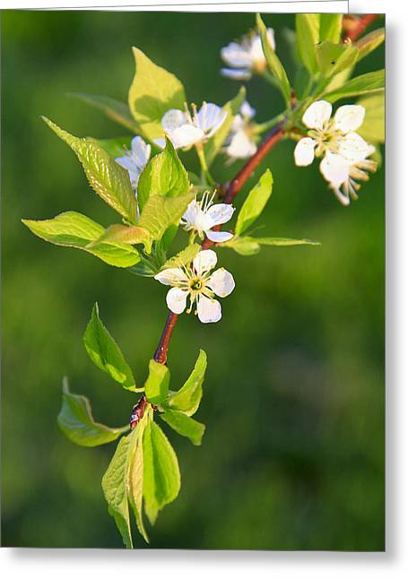 Wild Orchards Greeting Cards - Wild Plum Blossoms Greeting Card by David M Porter