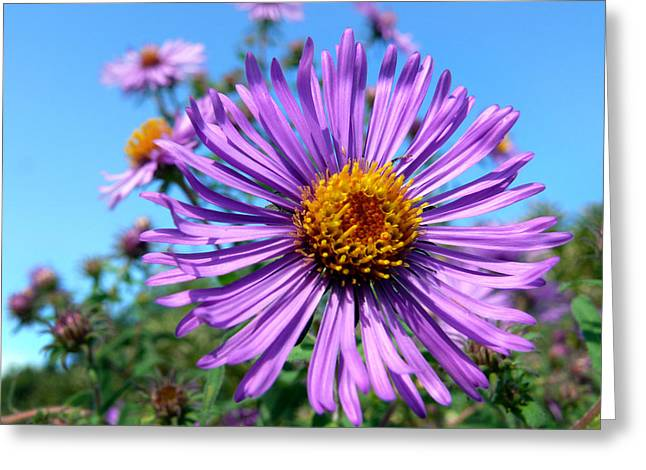 Aster Greeting Cards - Wild Purple Aster Greeting Card by Christina Rollo