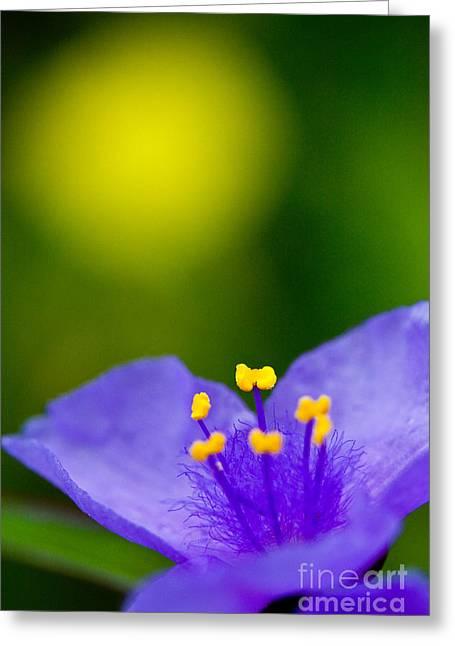 Tradescantia Greeting Cards - Wild purple spiderwort wildflower Greeting Card by Matt Suess