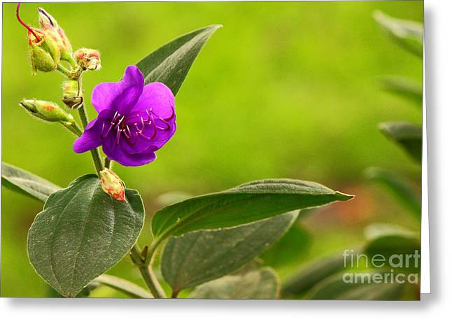 Radiancy Greeting Cards - Wild Purpure Greeting Card by Manuel Bonilla Photography