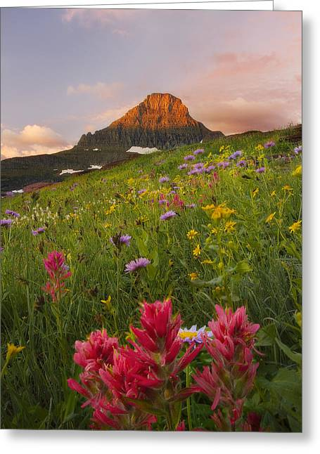 Asters Greeting Cards - Wild Reynolds  Greeting Card by Peter Coskun