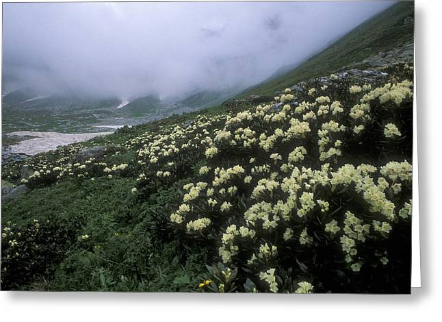 Nature Preserve Greeting Cards - Wild Rhododendrons On A Hillside Greeting Card by Anonymous