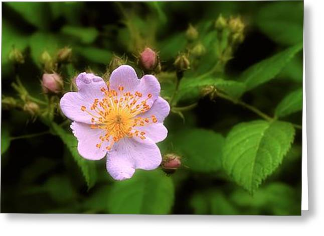 Rose Petals Greeting Cards - Wildflower - Wild Rose - Panorama Greeting Card by Henry Kowalski