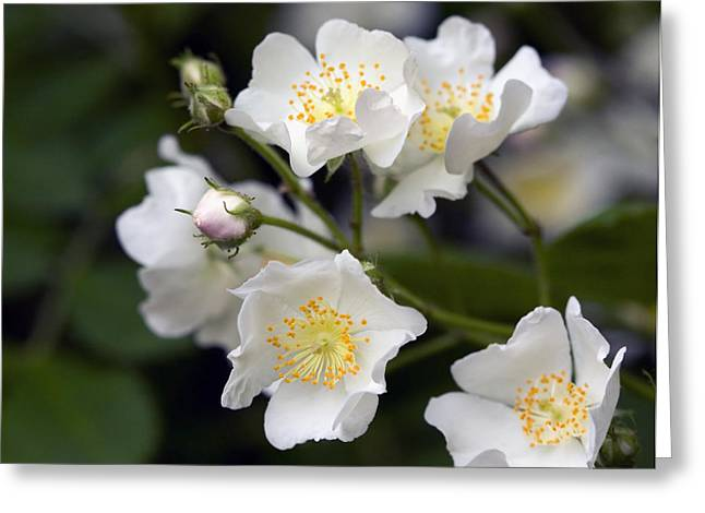 Multiflora Greeting Cards - Wild Rose Greeting Card by Melinda Fawver
