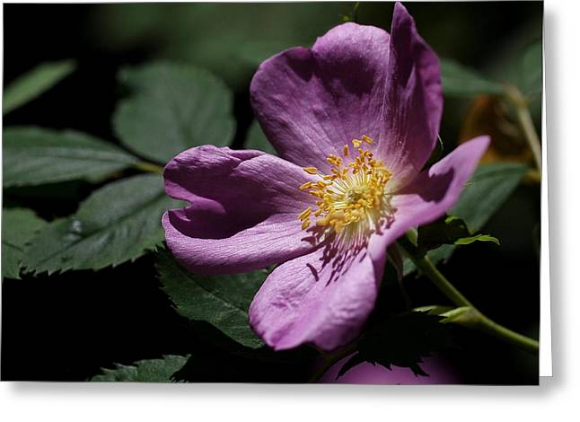 Purple Roses Greeting Cards - Wild Rose Greeting Card by Rona Black