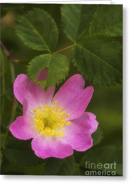 Harmonious Greeting Cards - Wild rose Greeting Card by Veikko Suikkanen