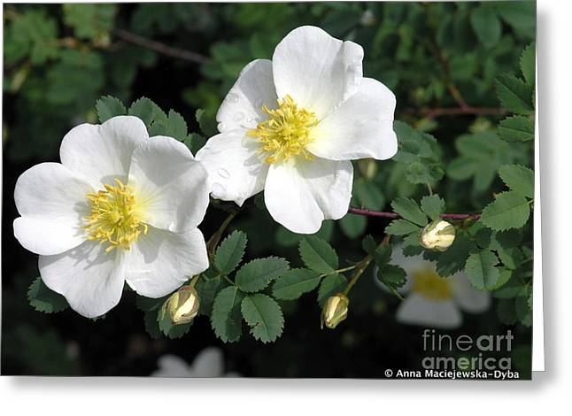 Anna Maciejewska-dyba Greeting Cards - Wild Roses Greeting Card by Anna Folkartanna Maciejewska-Dyba