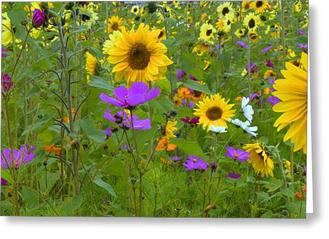 Yellow Sunflower Greeting Cards - Wild Sunflower Field Panoramic Greeting Card by Joann Vitali