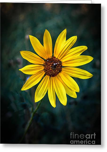 Asters Greeting Cards - Wild Sunflower Greeting Card by Robert Bales