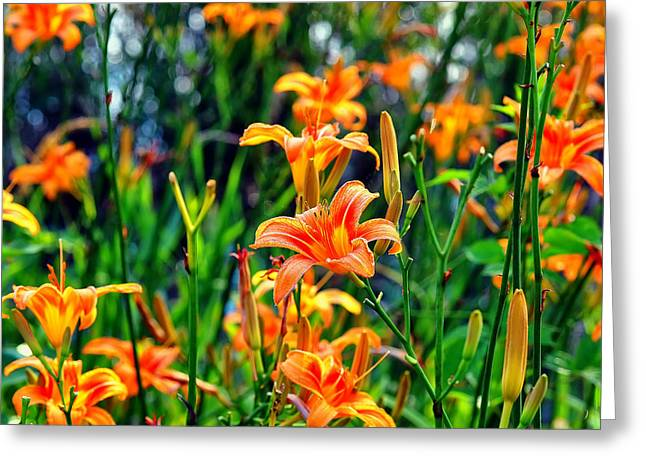 Day Lily Greeting Cards - Wild Tiger Lilies Greeting Card by Chris Flees