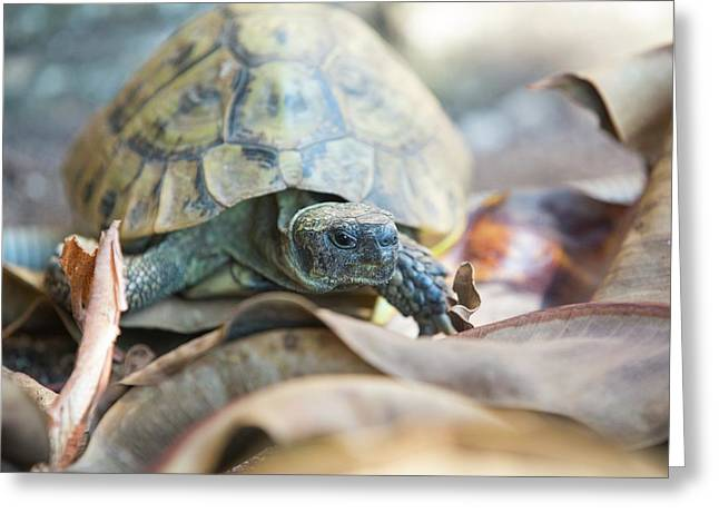 Wild Tortoises In A Garden In Sivota Greeting Card by Ashley Cooper