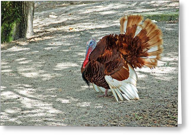 Florida Wild Turkey Greeting Cards - Wild Turkey Greeting Card by Aimee L Maher Photography and Art