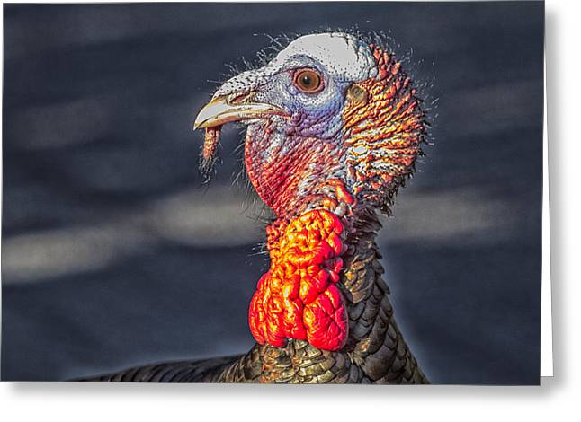 Meleagris Gallopavo Greeting Cards - Wild Turkey Portrait Greeting Card by Constantine Gregory