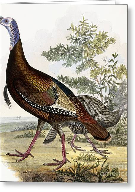 Wild Life Drawings Greeting Cards - Wild Turkey Greeting Card by Titian Ramsey Peale