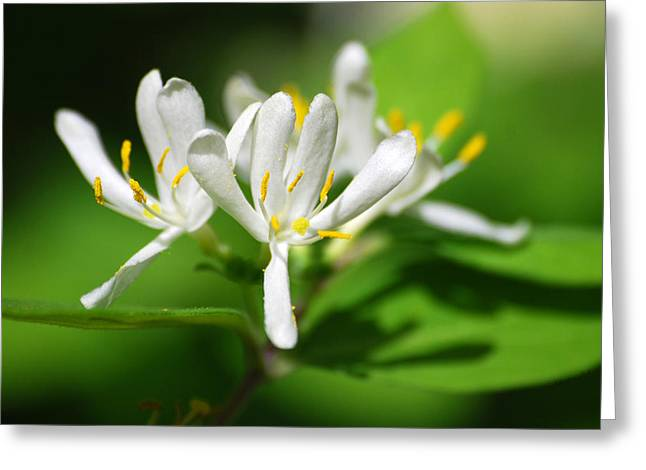 Suckle Greeting Cards - Wild White Honeysuckle Flowers Greeting Card by Christina Rollo
