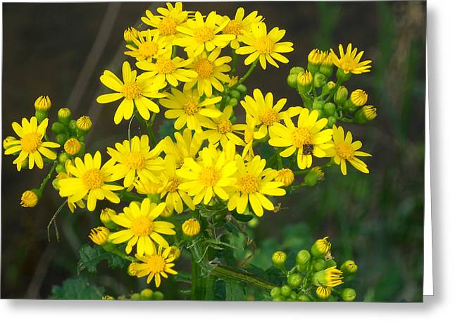 """flower Still Life Prints"" Greeting Cards - Wild Yellow Daisies Greeting Card by B L Hickman"
