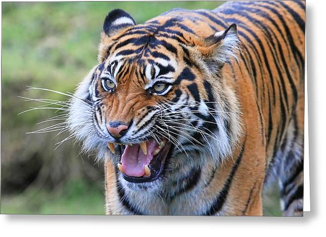 Bobcats Photographs Greeting Cards - Wildcat III Greeting Card by Athena Mckinzie