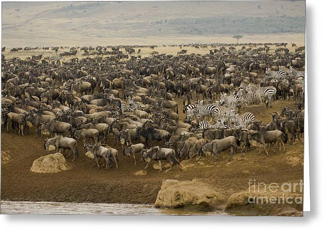 White Beard Greeting Cards - Wildebeest Herds Greeting Card by John Shaw