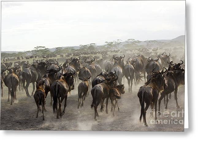 Serengeti Animal Greeting Cards - Wildebeest Migration  Greeting Card by Gilad Flesch