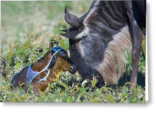 Female Animal Greeting Cards - Wildebeest With Its Newborn Calf Lying Greeting Card by Panoramic Images