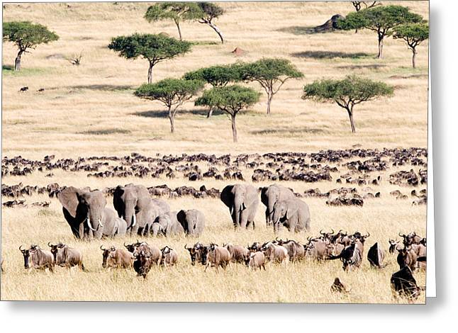 Migrate Greeting Cards - Wildebeests With African Elephants Greeting Card by Panoramic Images
