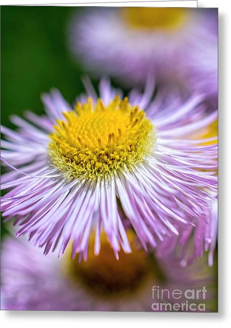 Dappled Light Greeting Cards - Wildflower - Fleabane - Robins Plantain Greeting Card by Henry Kowalski