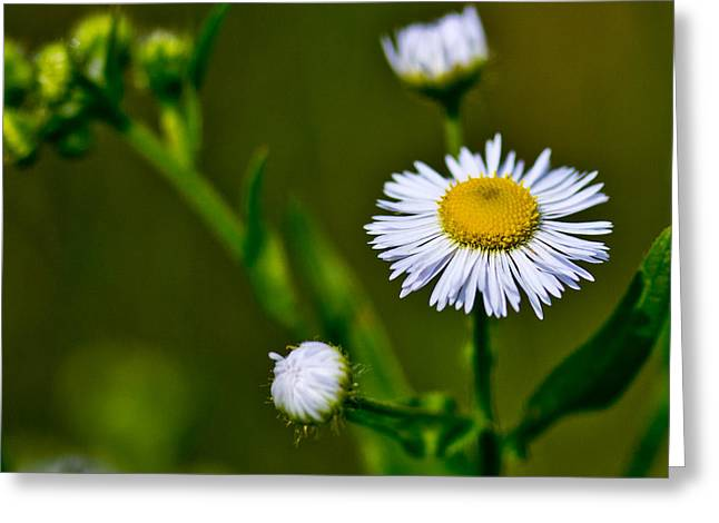 White Photographs Greeting Cards - Wildflower Greeting Card by Tom Gari Gallery-Three-Photography