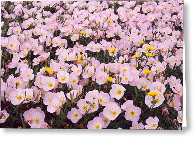 Primroses Greeting Cards - Wildflowers Galveston Tx Usa Greeting Card by Panoramic Images