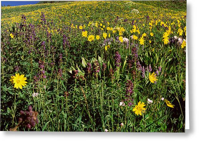 Crested Butte Greeting Cards - Wildflowers In A Field, West Maroon Greeting Card by Panoramic Images