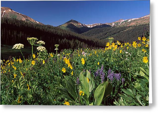 Crested Butte Greeting Cards - Wildflowers In A Forest, West Maroon Greeting Card by Panoramic Images
