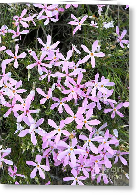 Phlox Greeting Cards - Wildflowers - Long-leaf Phlox Greeting Card by Carol Groenen